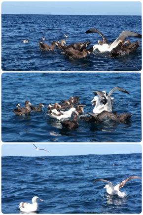 Kaikoura – Albatros et pétrels